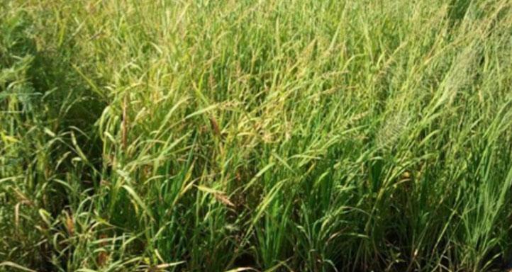 Rice untreated